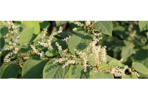 Japanse duizendknoop: sterke antioxidant met veel resveratrol