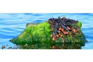 Kelp: compleet voedingsmiddel uit de zee