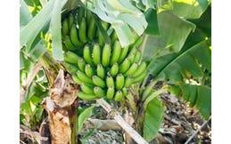 Bananen Poeder