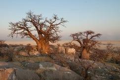 Baobab poeder