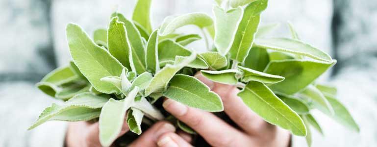 De voordelen van Salvia, oftewel salie