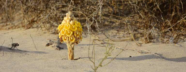 De plantaardige paradijsvogel Cistanche tubulosa