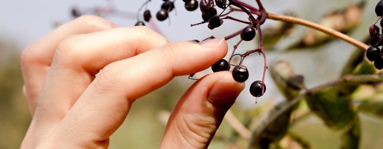 Maqui bes: piepkleine krachtpatser en antioxidantenbom