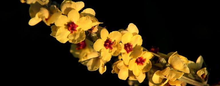 Koningskaars: heilige plant met koninklijke waardigheid
