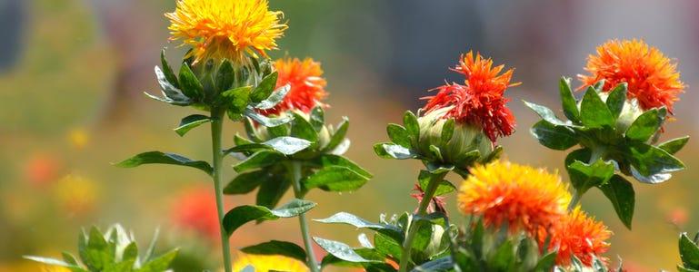 Saffloerolie: rijke bron van omega 6 en 9