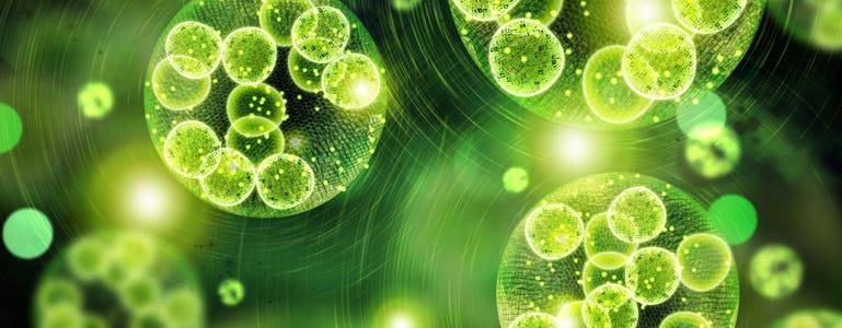 Chlorella: groen algje met grote potentie