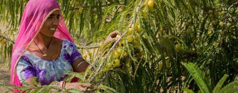 Amla: Indiase kruisbes vol antioxidanten en vitamine C