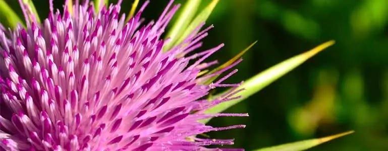 Mariadistel: antioxidant voor de lever
