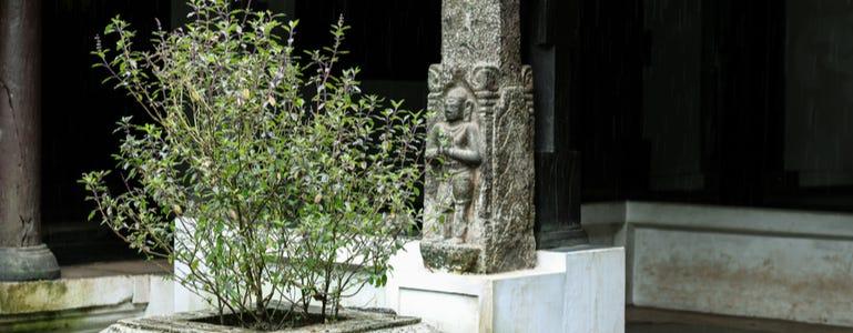 De magie van Tulsi of heilig basilicum en ursolzuur