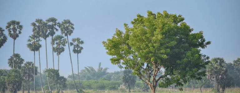Neem: wonderkruid uit de Ayurveda