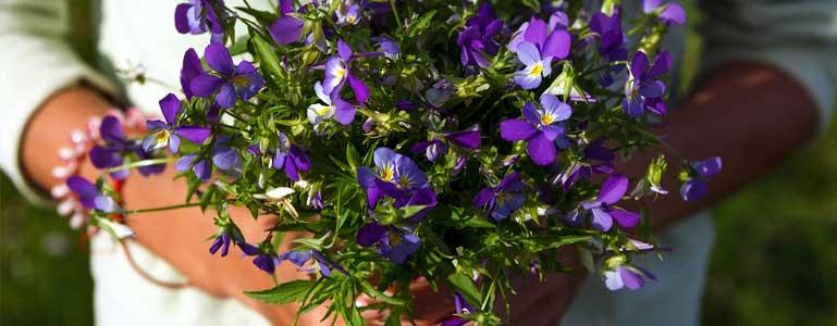 Bosje violen
