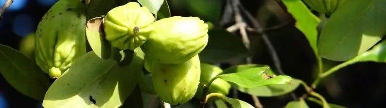 De vruchten van de Garcinia cambogia