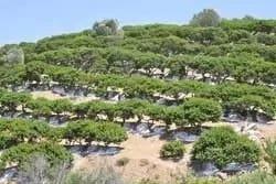 Mastica Plantage