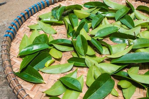 Bladeren van de graviola boom
