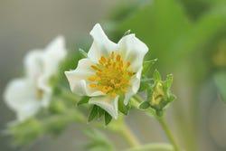 bloem van Chileense aardbei
