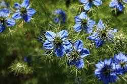 de blauwe bloemetjes van Nigella sativa