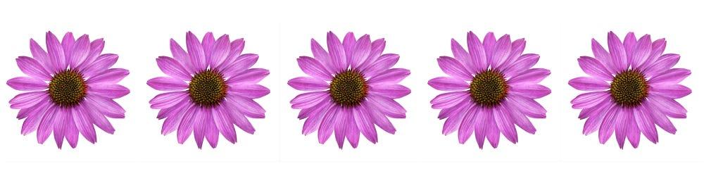 echinacea bloemen