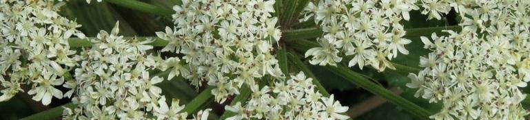 De bloemetjes van de Dong quai