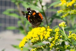 Solidago trekt bijen en vlinders aan