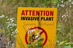 Invasieve plant