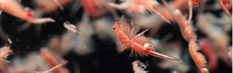 Fytoplankton