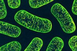 Mitochondriën in een cel