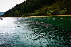 Groenlipmossel kwekerij in Nieuw-Zeeland