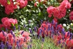 Terpenen in rozen zorgen voor een aangename geur