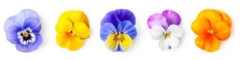 Verschillende kleurige viooltjes