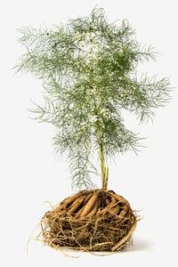 De shatavari plant in zijn geheel