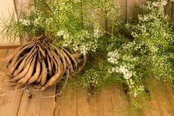 De shatavari plant