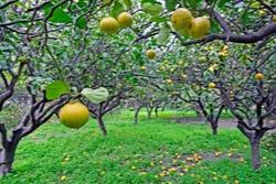 Vruchtboom