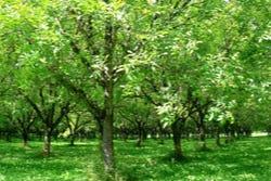 Sterk hout van walnootbomen