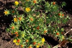 Zelf kunt u ook saffloer planten