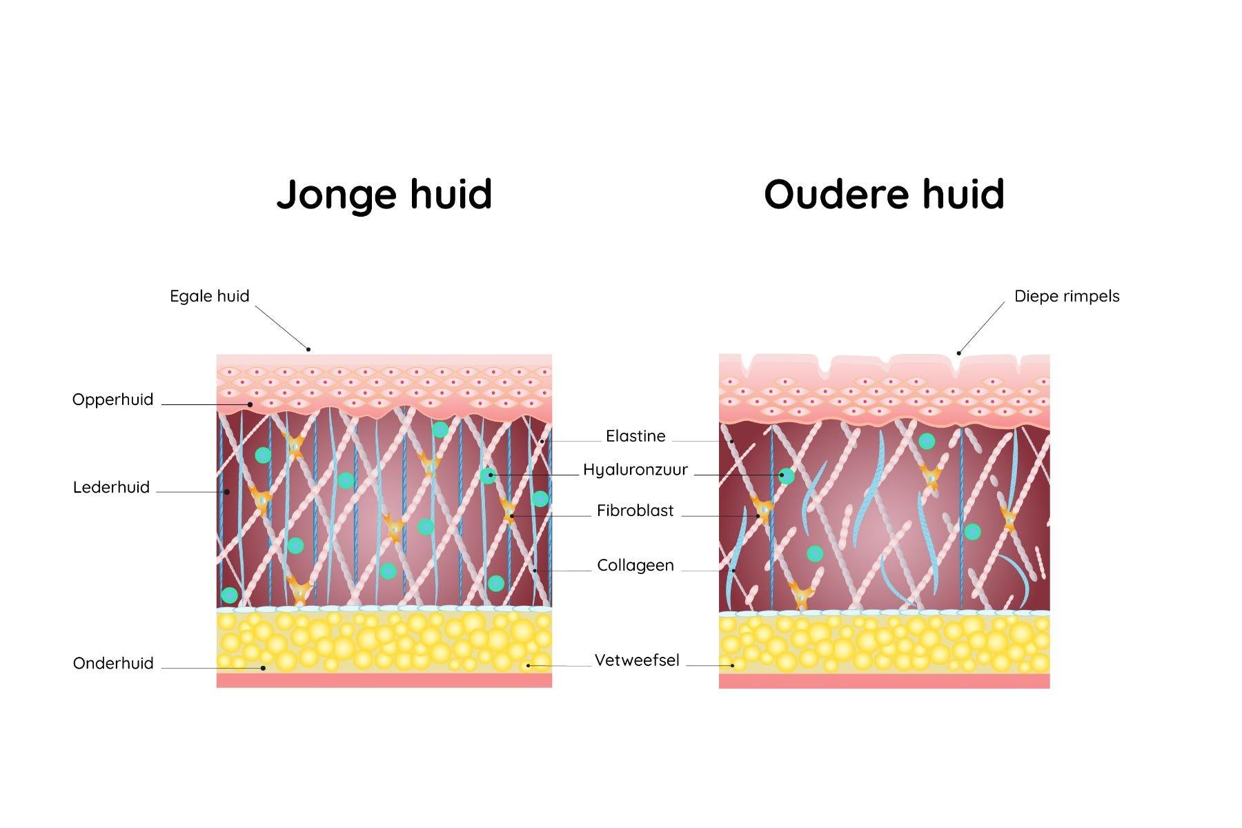 Doorsnede van jonge huid versus oudere huid