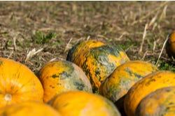 Pompoenen zitten vol met pitten of zaden