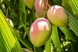Mango's aan de boom