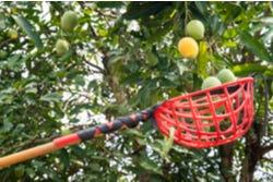 Het oogsten van mango's