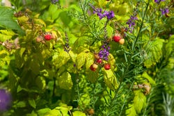 Engelse tuin met frambozen