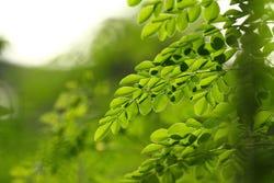 Moringa blad
