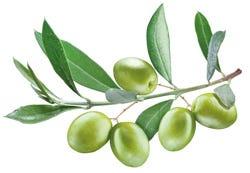 Olijven en bladeren aan een takje